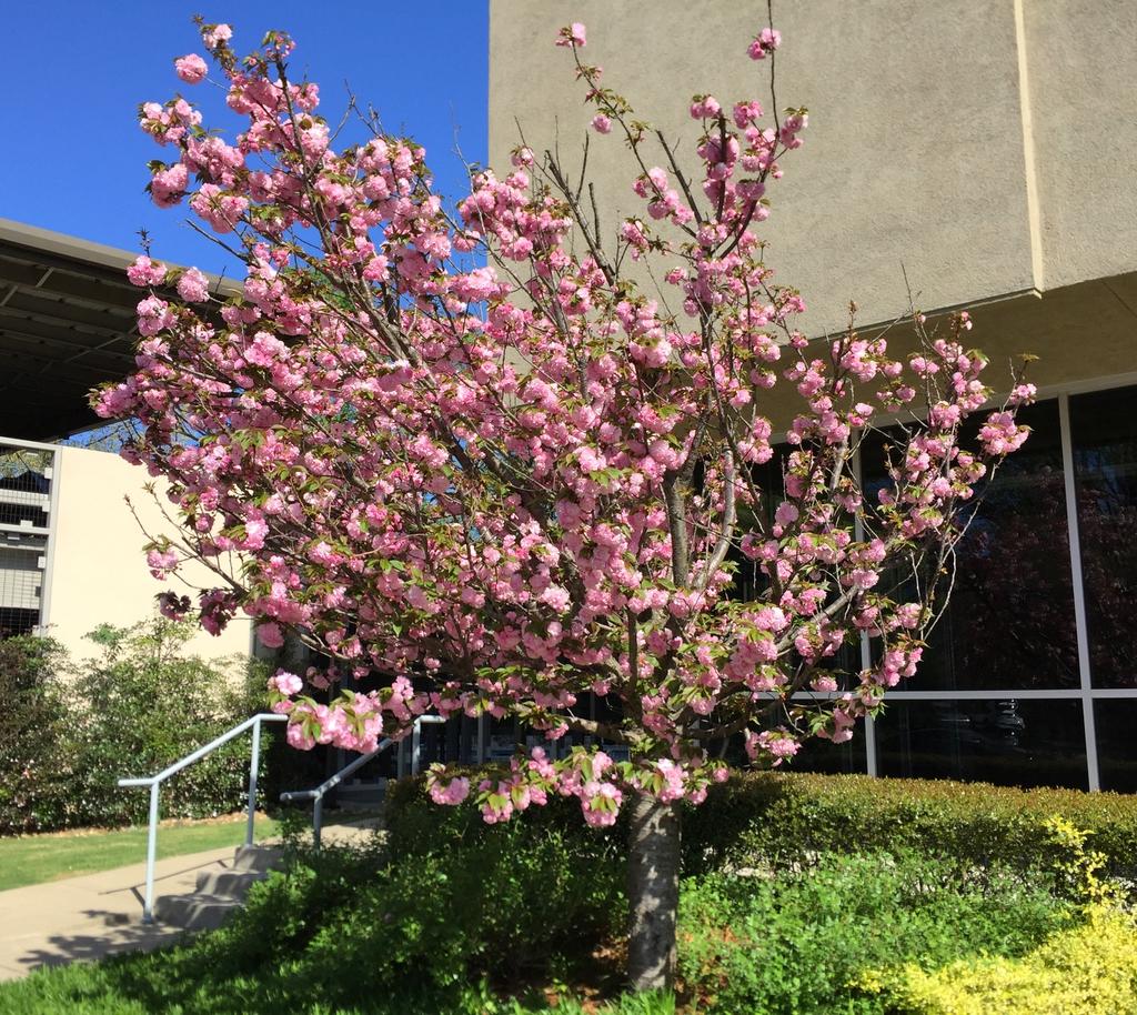 'Kwanzan' Form and full bloom