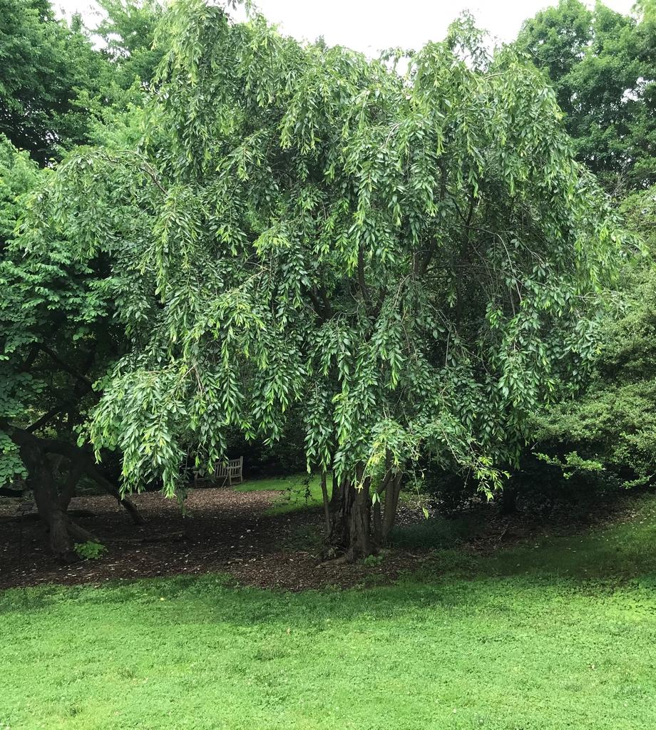 Prunus subhirtella tree