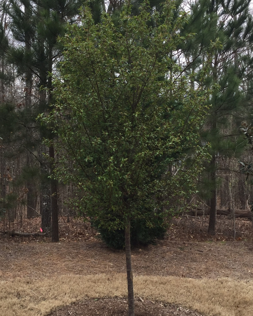 young tree after bloom, form, early spring, Durham County, NC
