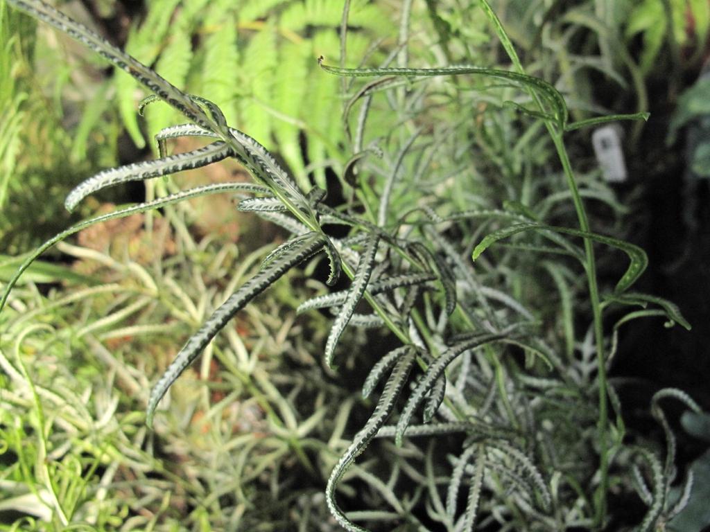 Pteris ensiformis 'Evergerniensis'
