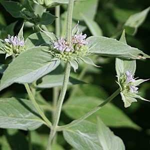 Pycnanthemum incanum