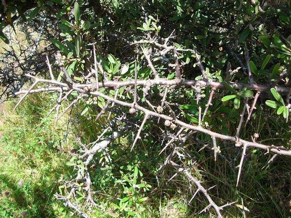 Pyracantha koidzumii