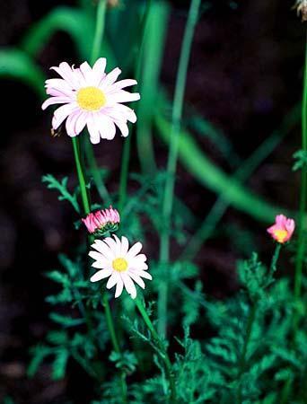 Pyrethrum roseum = Chrysanthemum coccineum