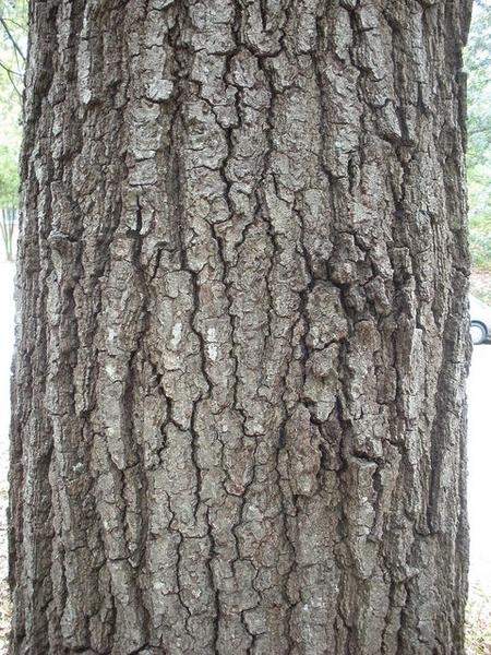 Quercus falcata, bark