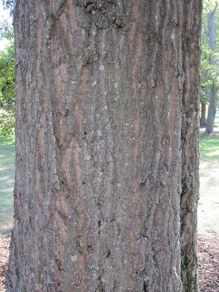 Quercus nigra, bark