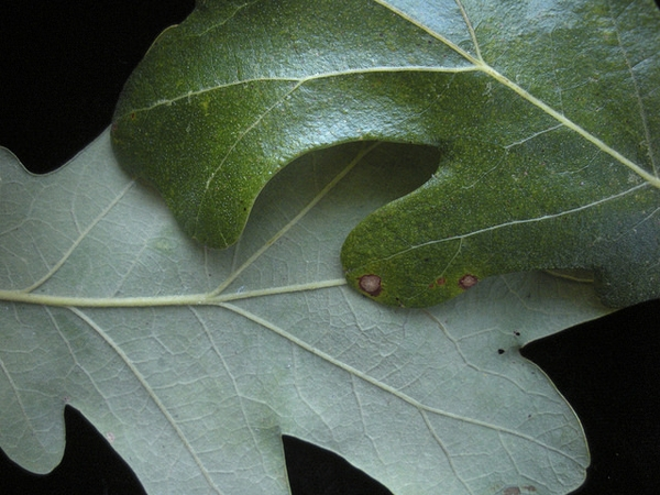 Quercus stellata, leaves