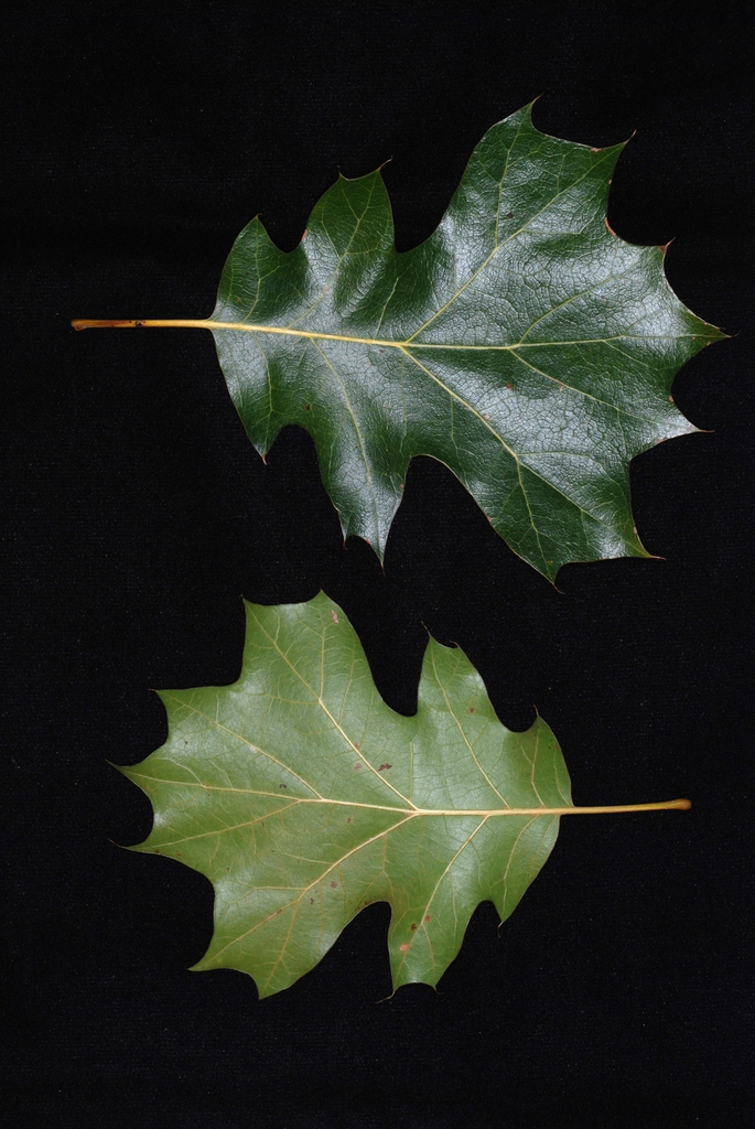 Front and back of leaves (Moore County, NC)-Early Fall