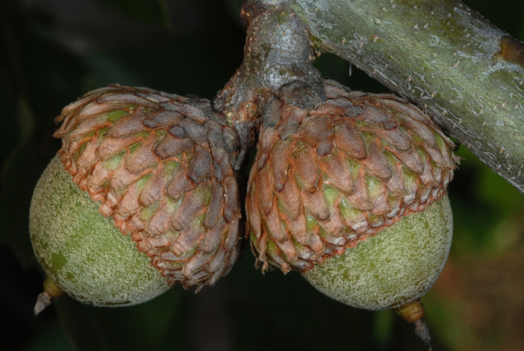 Side view of acorns (Moore County, NC)-Early Fall
