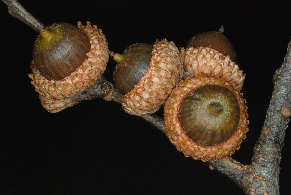 Bottom view of acorns (Moore County, NC)-Early Fall
