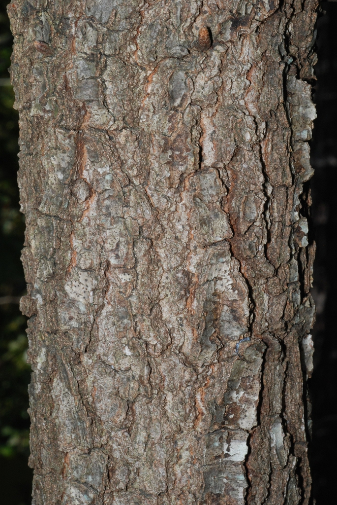 Fissured bark (Moore County, NC)-Early Fall