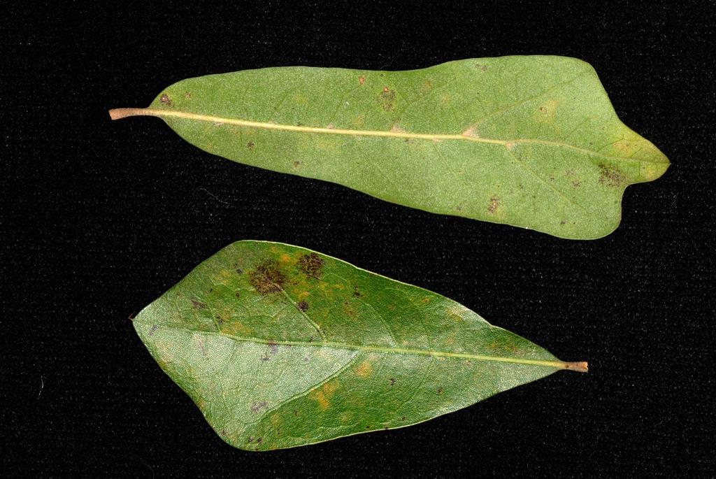 Leaf closeup (Moore County, NC)-Early Fall