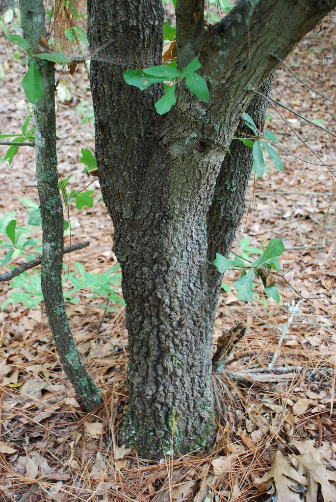 Gray ridged bark (Moore County, NC)-Early Fall