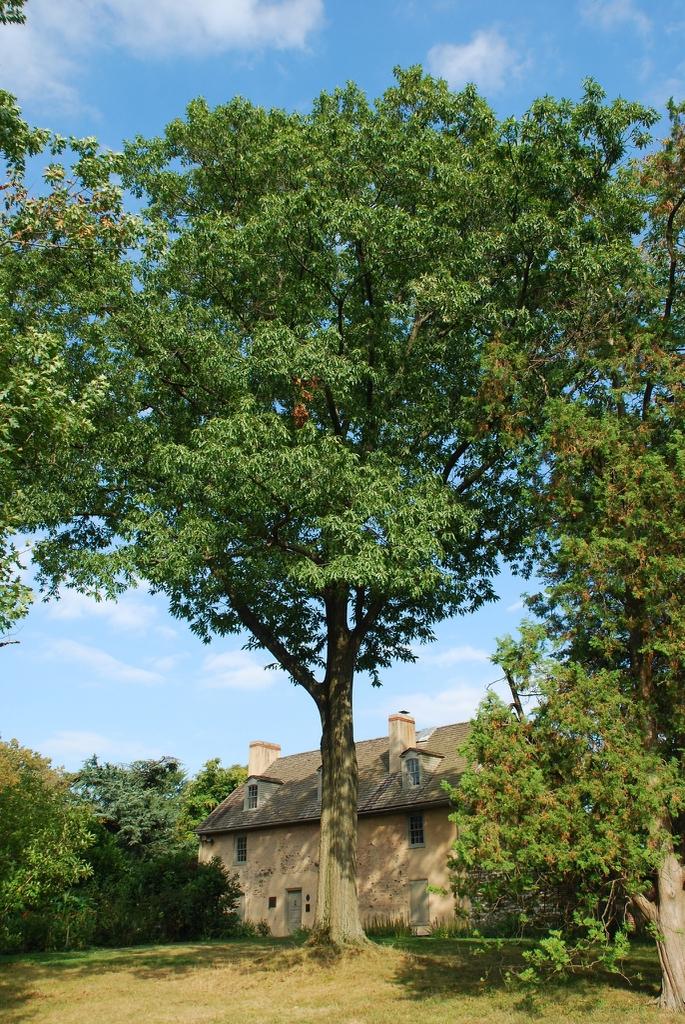 Form of the tree (Kingsessing, Philadelphia, PA)-Early Fall