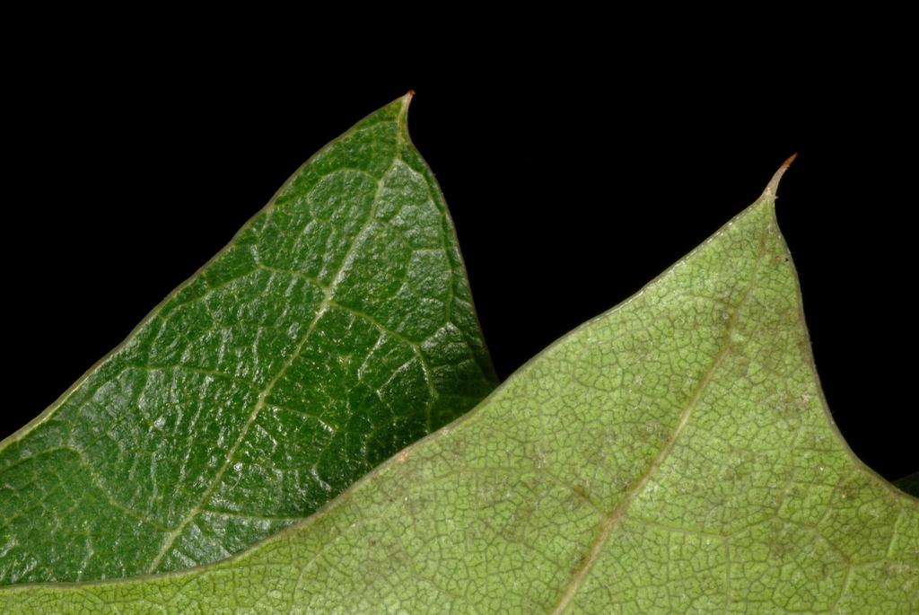 upper and underside of leaves (Kingsessing, Philadelphia, PA)-Ea