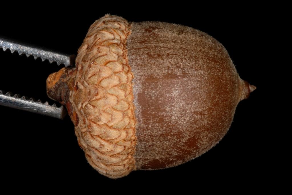 Side of acorn (Kingsessing, Philadelphia, PA)-Early Fall