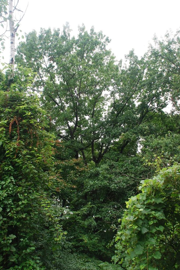 Tree form (Brighton, NY)-Late Summer