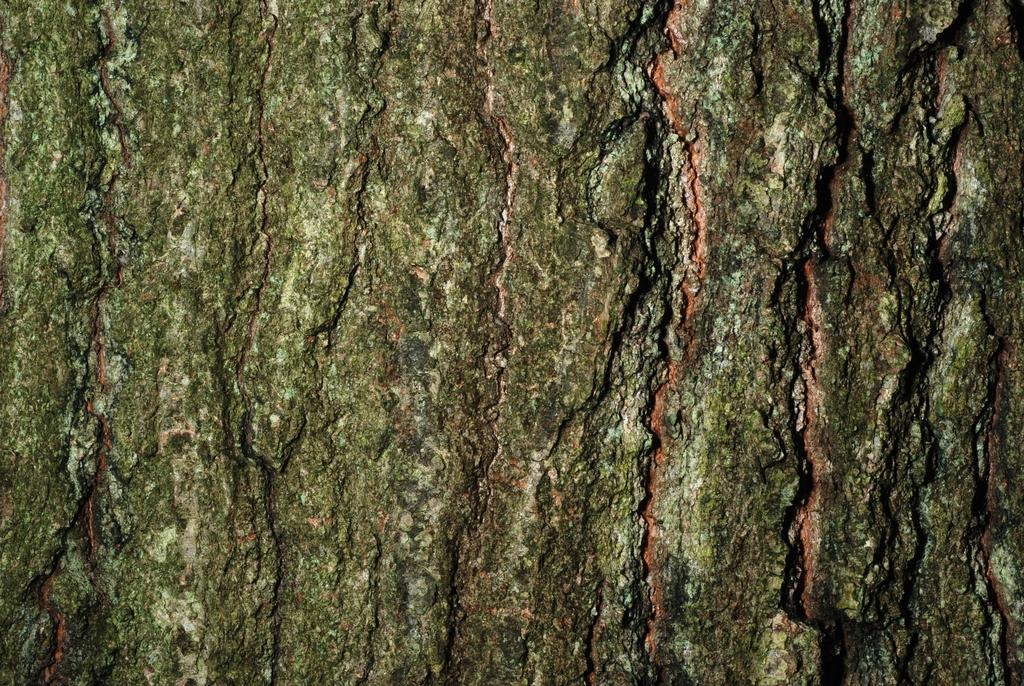 Close-up of bark (Brighton, NY)-Late Summer