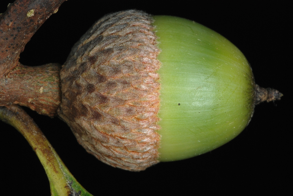 Side view of acorn (Greene County, AL)-Mid Fall