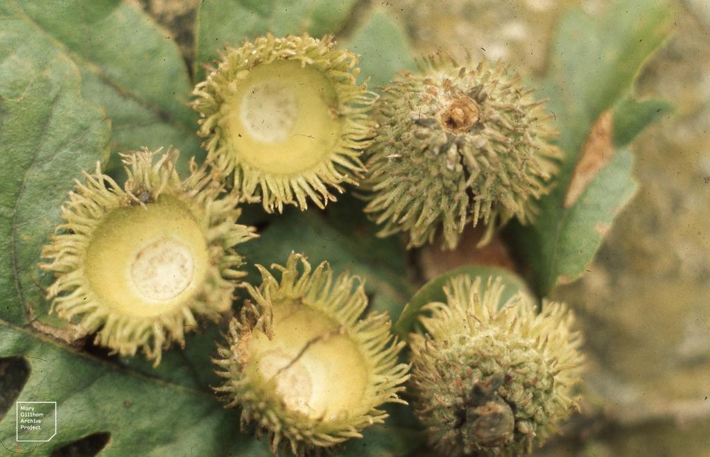 Bristly acorn cups