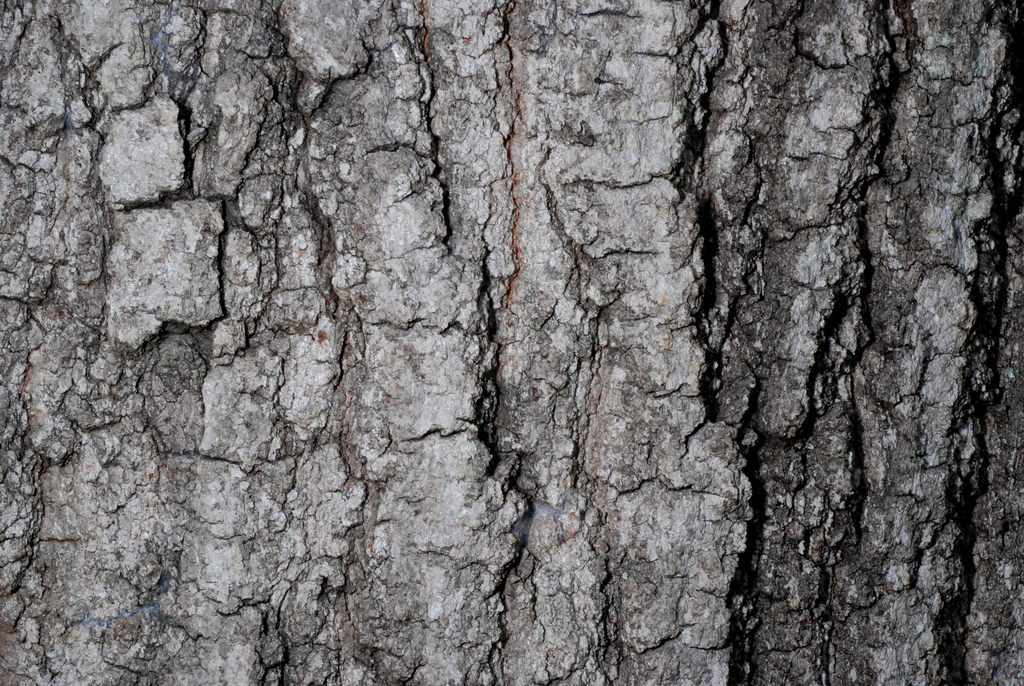 Close-up of bark (Greensboro, NC)-Early Fall
