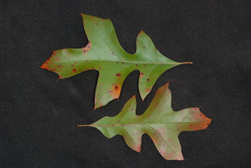Both sides of leaves (Georgia, US)-Late Fall
