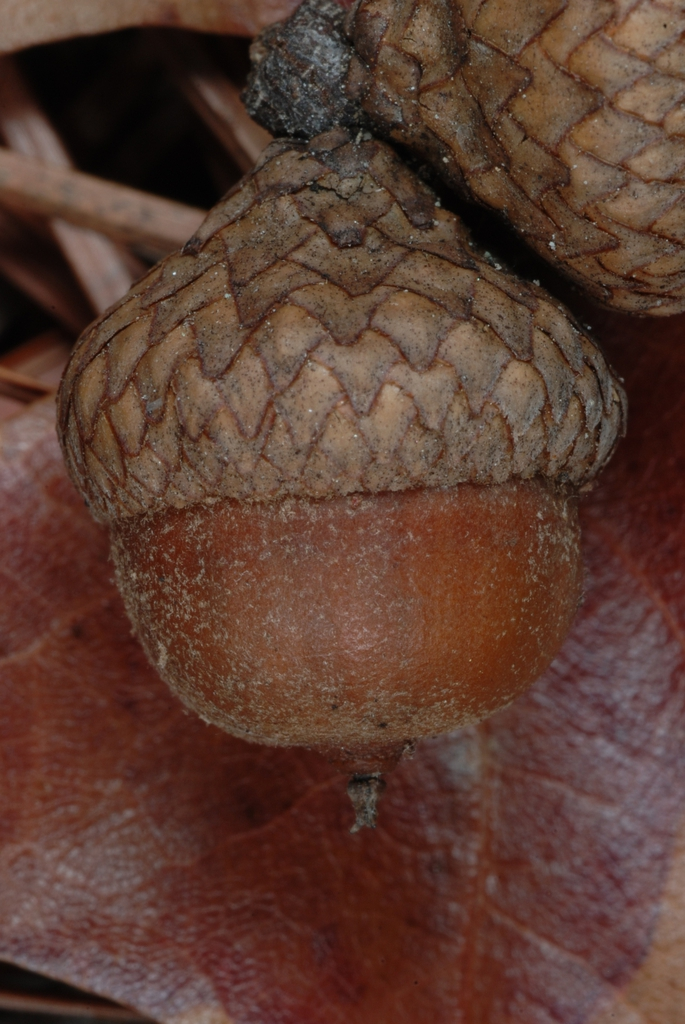 Side view of acorn (Georgia, US)-Late Fall