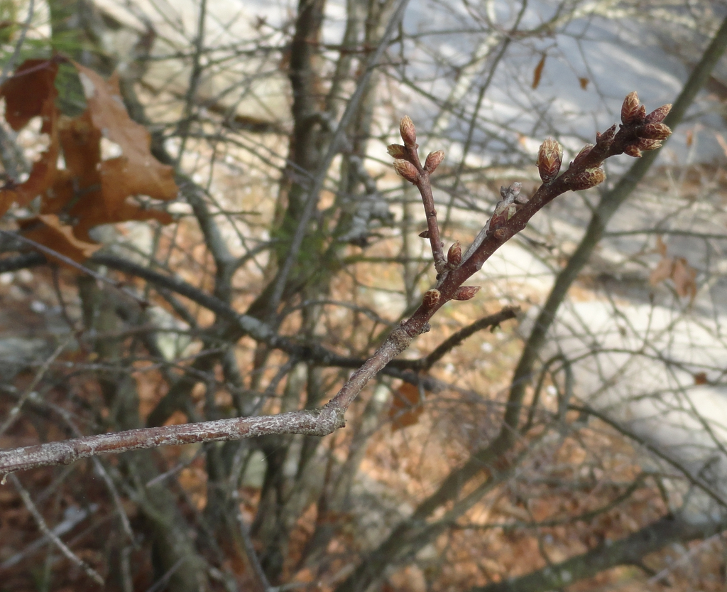 twigs and buds