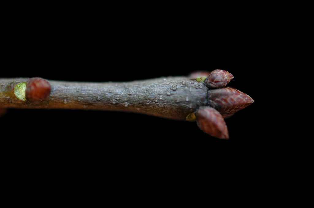 Stem and buds