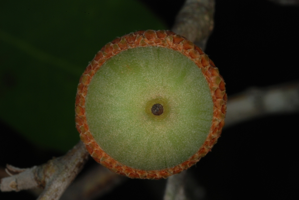 Bottom view of acorn (Moore County, NC)-Early Fall