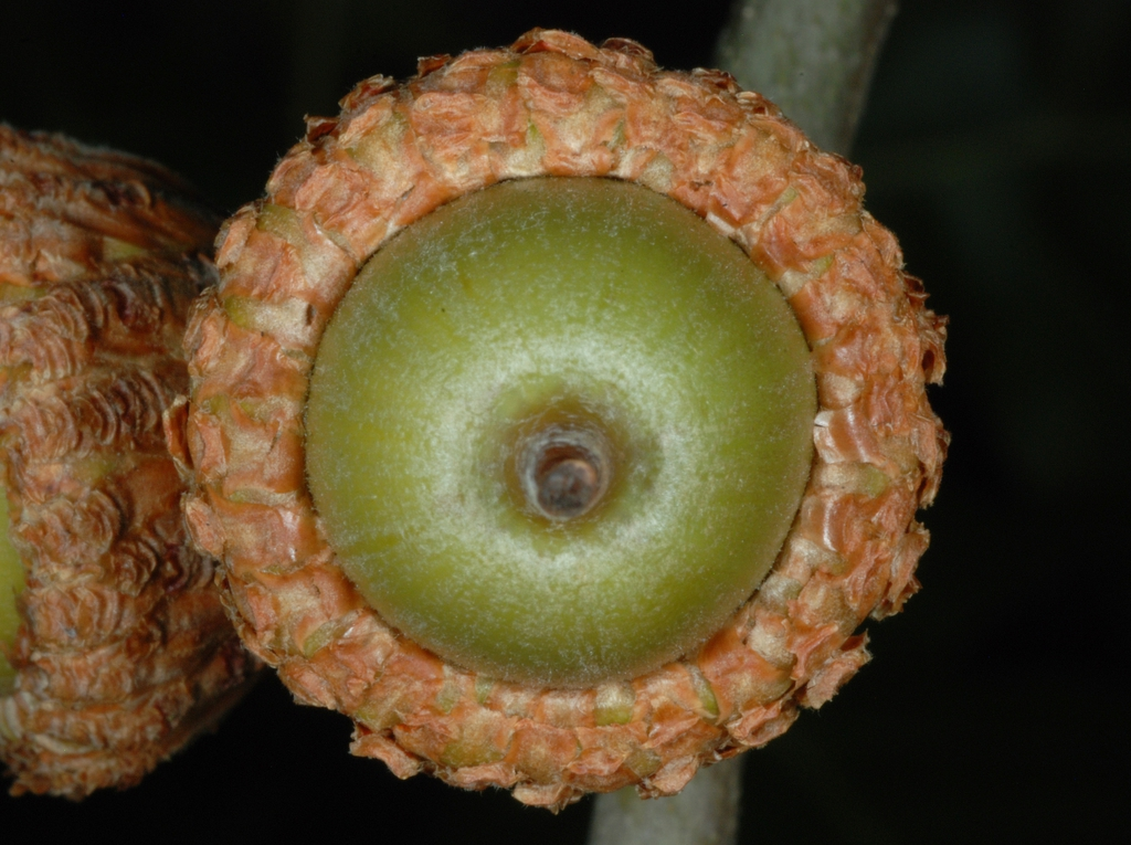 Bottom view of acorn (Pinebluff, NC)-Early Fall