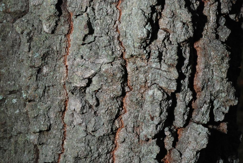 Close-up of bark (Pinebluff, NC)-Early Fall