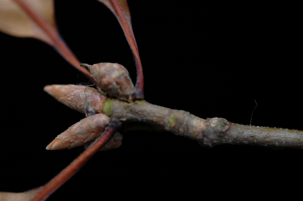 Branch and terminal buds