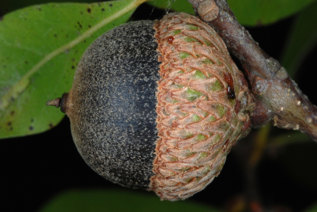 Side view of acorn (Pitt County, NC)-Mid Fall