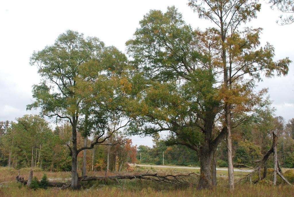 Form of tree (Pitt County, NC)-Mid Fall