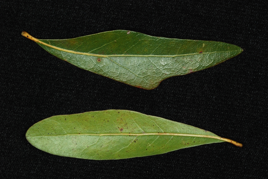 Both sides of leaves (Pitt County, NC)-Mid Fall