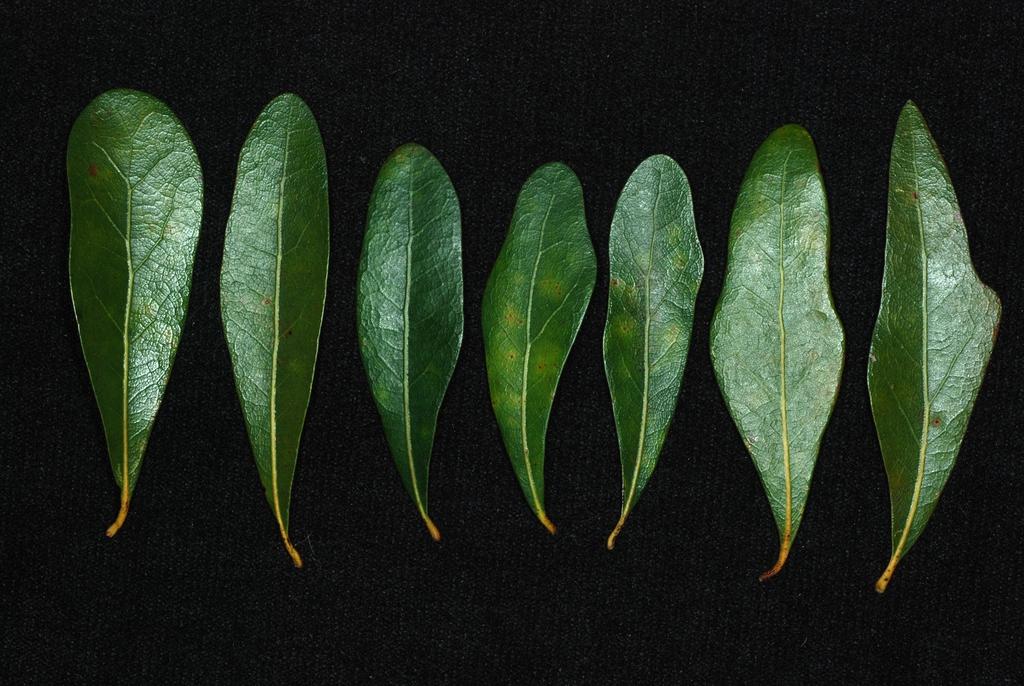 Leaf shapes (Pitt County, NC)-Mid Fall