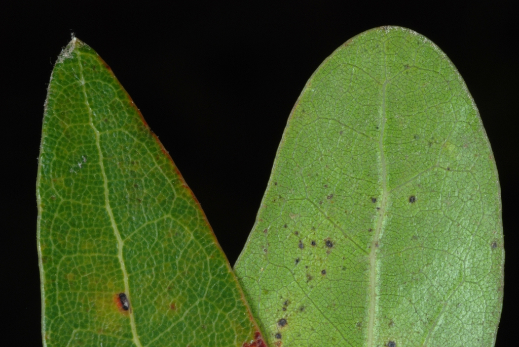 Close up of leaf sides (Pitt County, NC)-Mid Fall