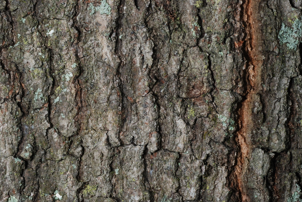 Close-up fissured bark (Pitt County, NC)-Mid Fall