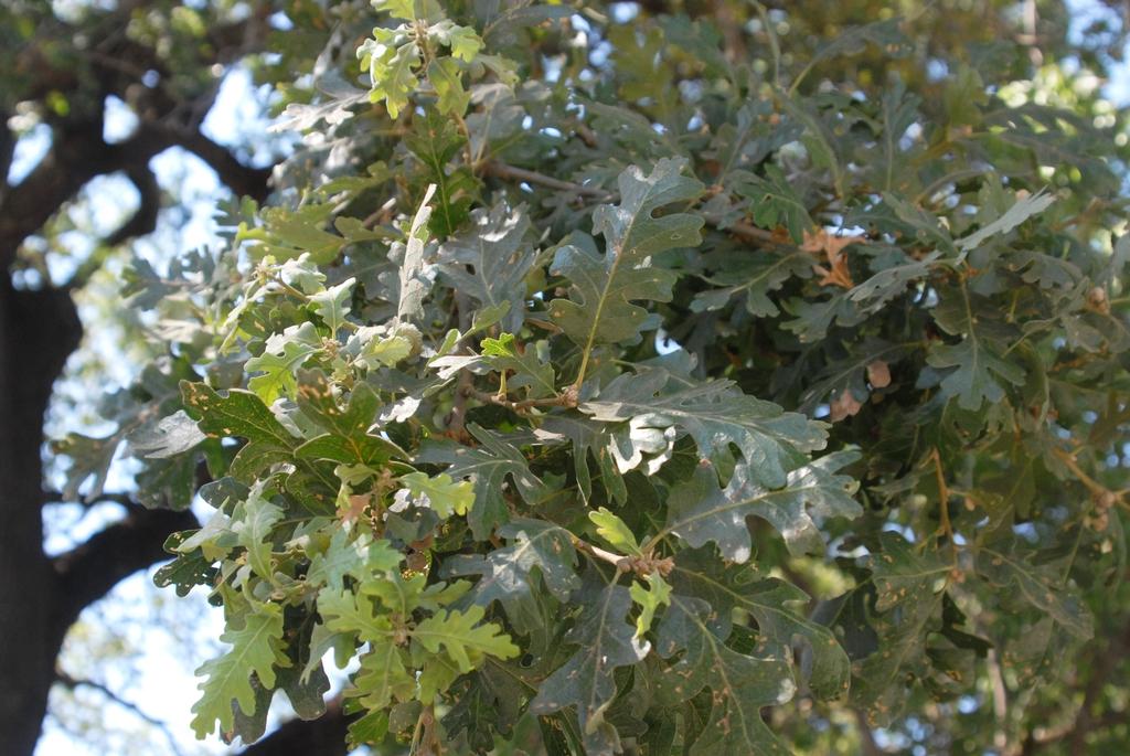 Quercus lobata
