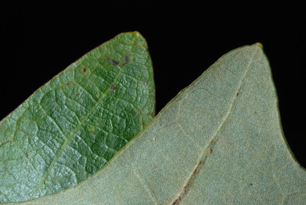 Quercus lyrata