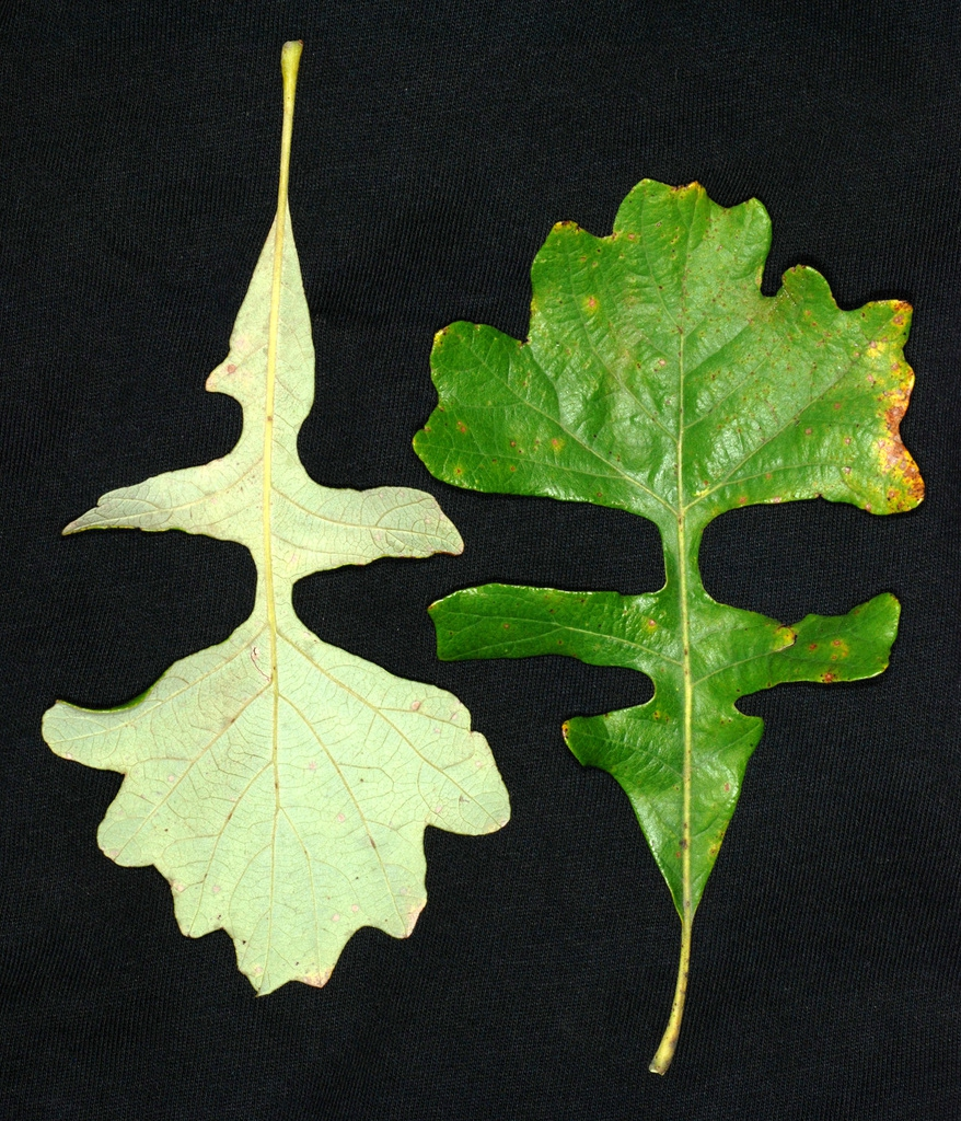 Front and back of leaf (Brighton, NY)-Mid Fall