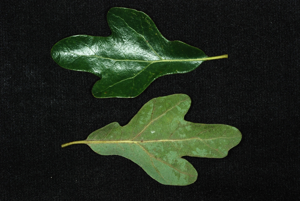 Whole leaf front and back (Kershaw County, SC)-Early Fall