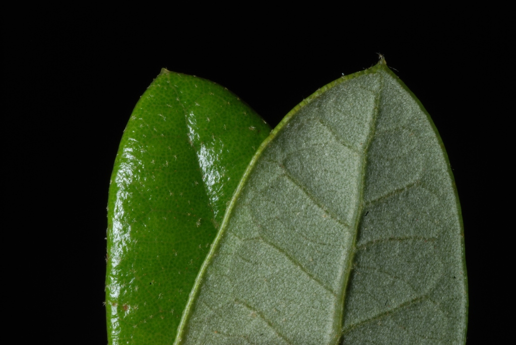 Front and back of leaf (Glynn County, GA)-Mid Spring