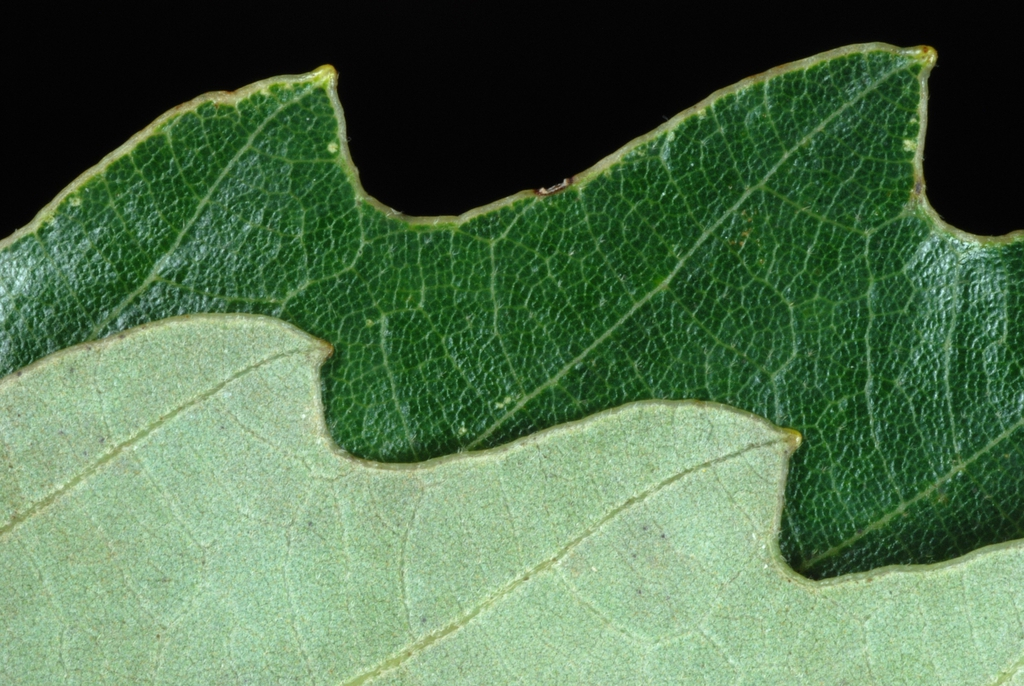 Margin of leaf (United States)-Early Fall