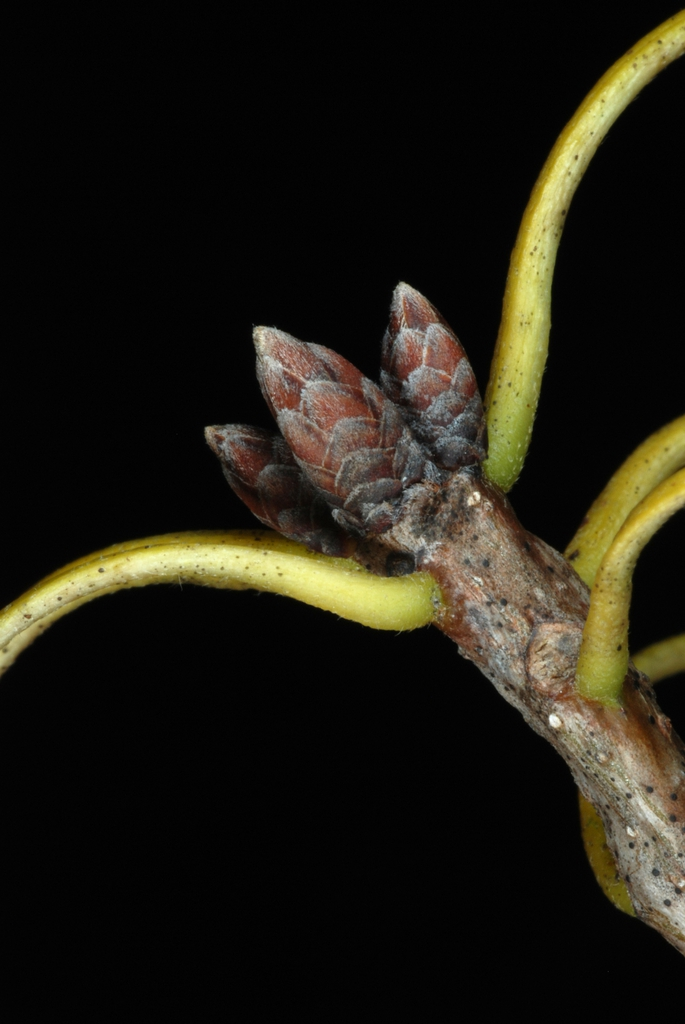 End buds (United States)-Early Fall