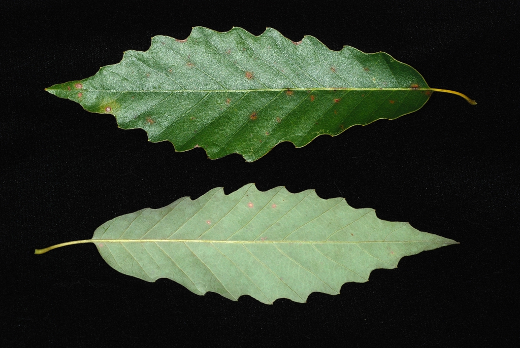 Both sides of leaf (United States)-Early Fall