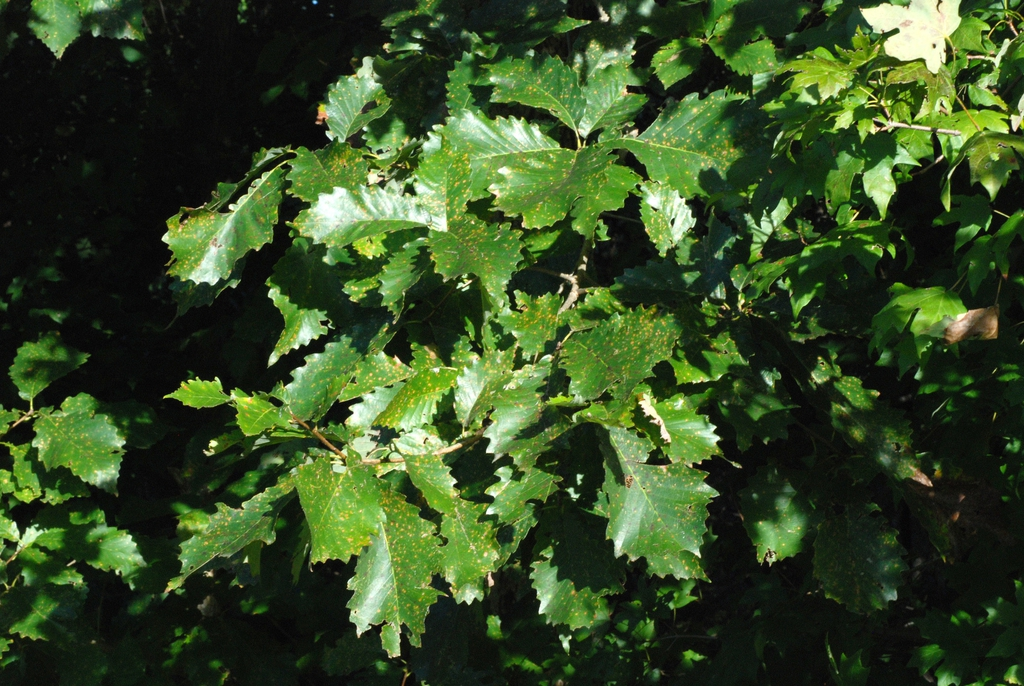 Branch with leaves (United States)-Early Fall