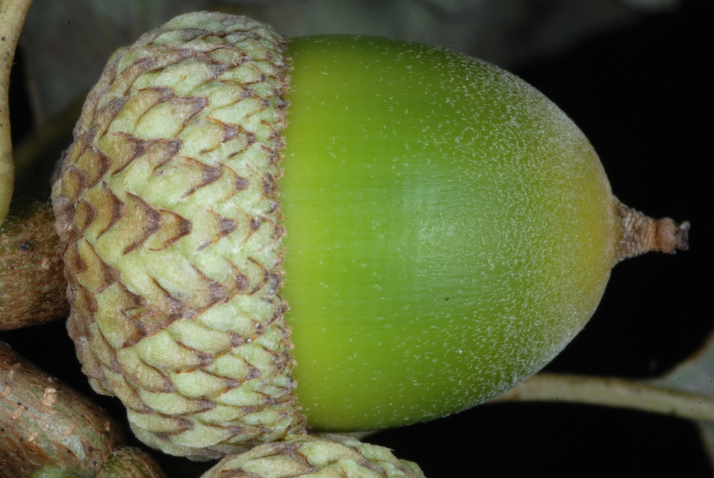 Side view of acorn (United States)-Early Fall