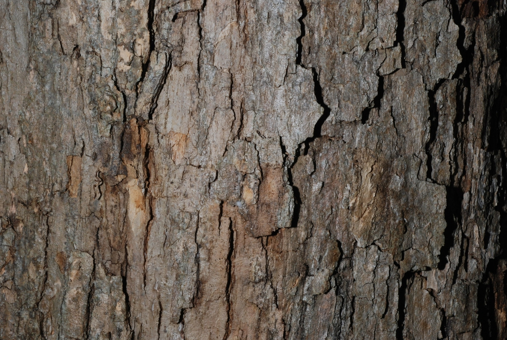 Close-up of bark (United States)-Early Fall