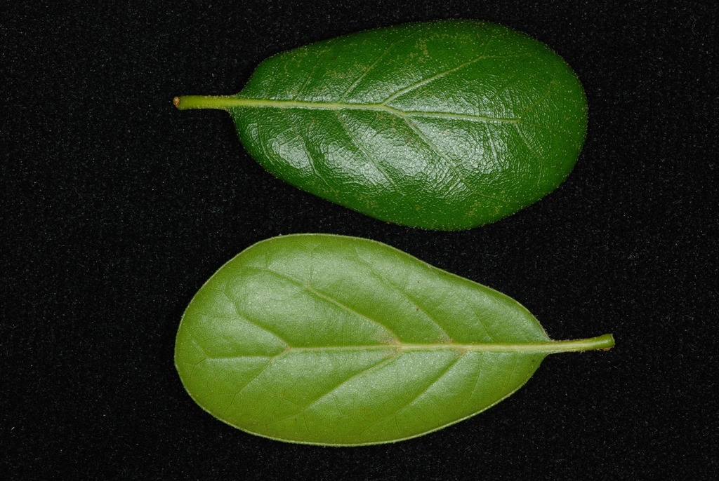 Front and back of leaf (Polk County, FL)-Mid Fall